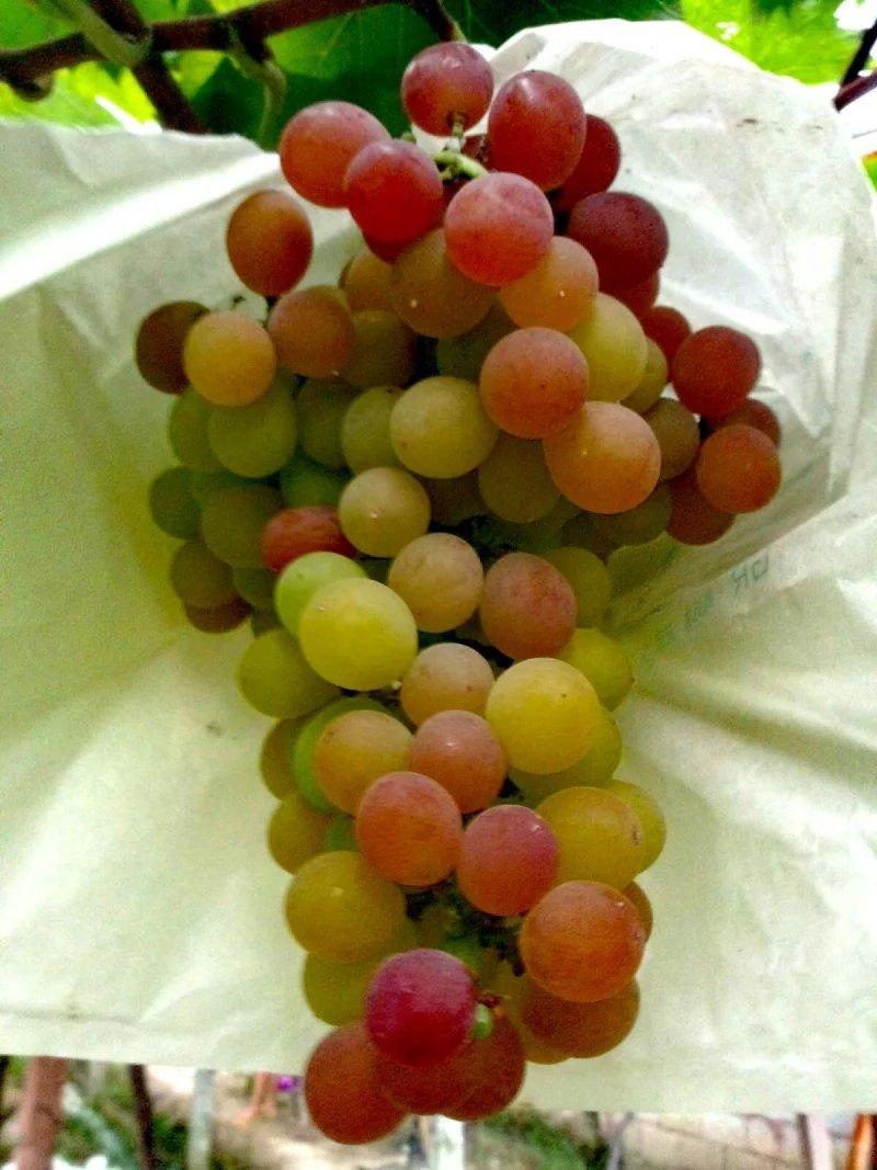 去朋友家摘葡萄